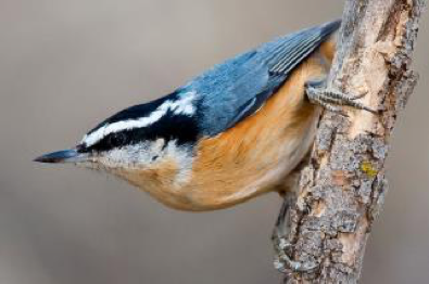 Picture of a Red-breasted Nuthatch
